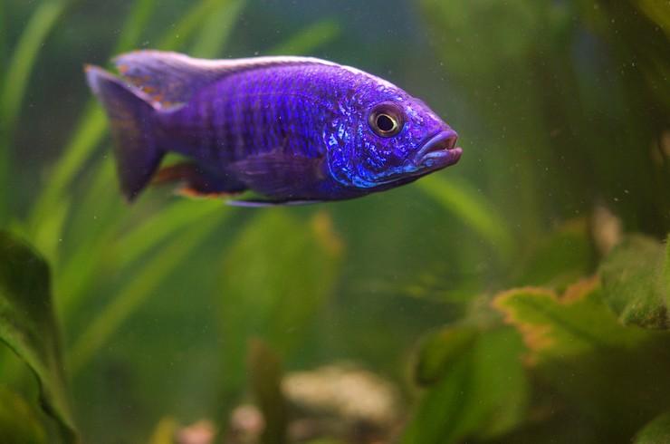 Для содержания василькового хаплохромиса понадобится аквариум порядка 300 литров