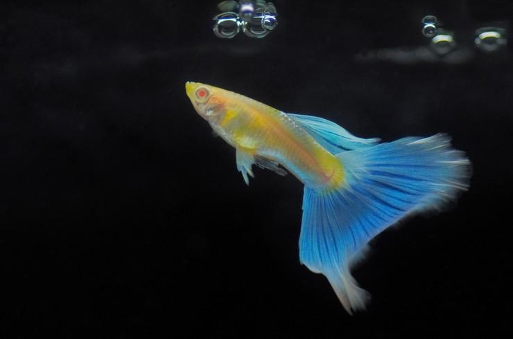 Гуппи альбиносы могут иметь разнообразную окраску, но глаза у рыбок всегда красные