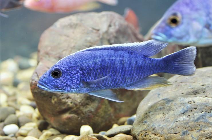 Хаплохромис васильковый в аквариуме