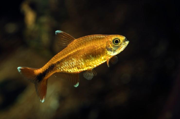 Хасемания нана – миролюбивая рыбка, даже если кажется иначе