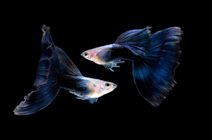 Синие гуппи любят чистую, насыщенную кислородом воду