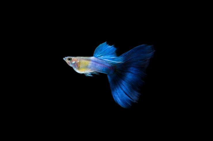 Синие гуппи обладают приятной окраской