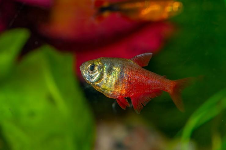 Тетра фон рио – отличный выбор для аквариумов-травников