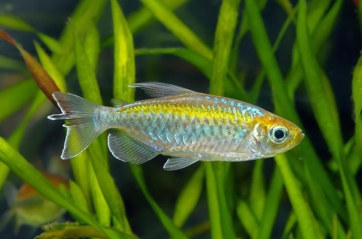 Тетра конго – настоящая радуга цвета