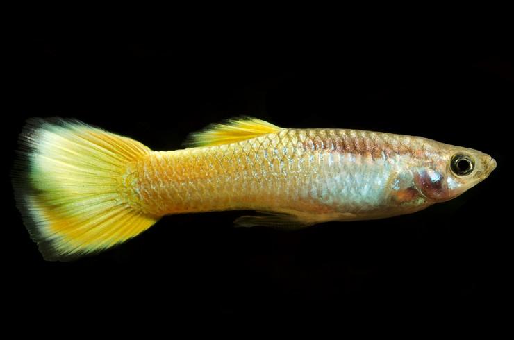 Желтые гуппи – красивые и неприхотливые рыбки