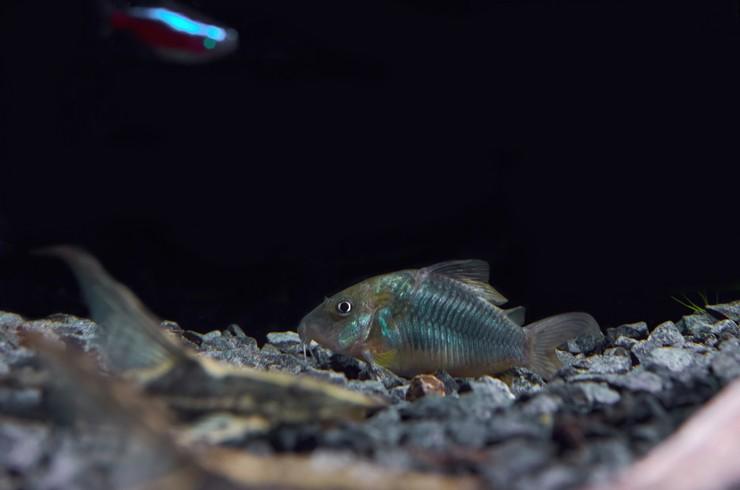 Брохисы отлично уживаются с любыми мирными рыбками
