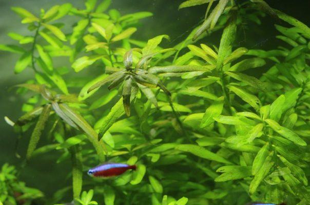 Гигрофила многосеменная – популярное длинностебельное растение