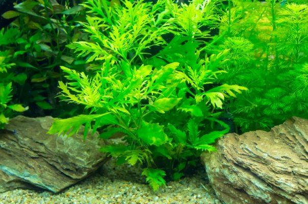 Гигрофила синема – красивое растение с резными листьями