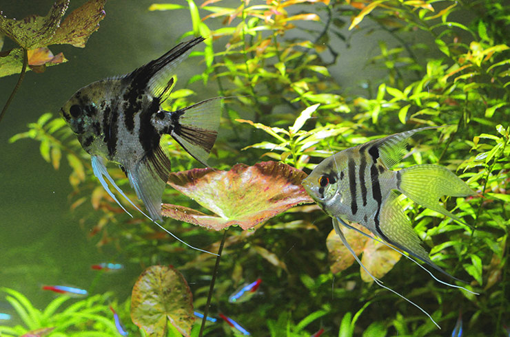 Грациозные скалярии и великолепные неоны в общем аквариуме