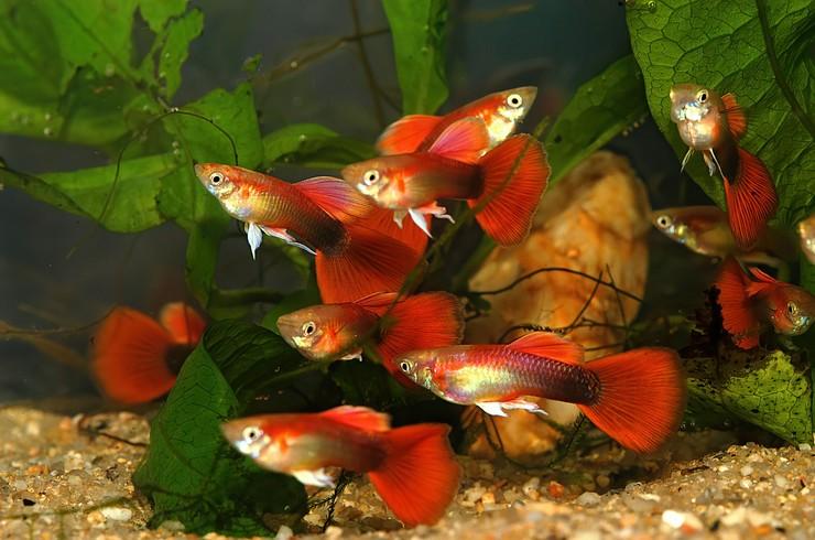 Красные гуппи в аквариуме