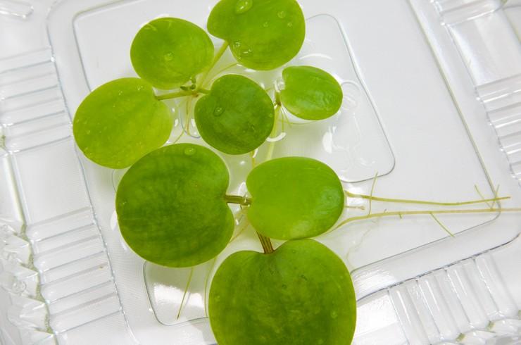 Лимнобиум – плавающее растение