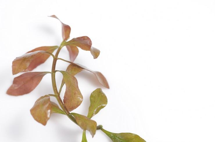 Людвигия размножается вегетативно: с помощью черенков