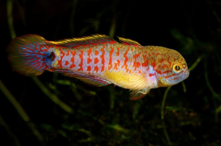 Несмотря на агрессивное выражение мордочки, элеотрисы – миролюбивые рыбки