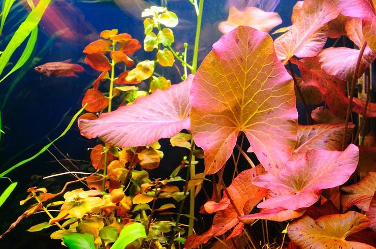 Нимфеи обладают очень красивыми листьями