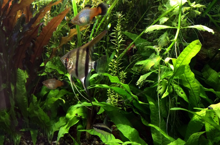 Папоротник таиландский – отличный выбор для аквариума-травника