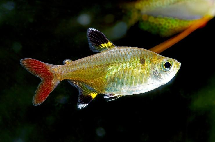 Пристелла – красивая и неприхотливая аквариумная рыбка