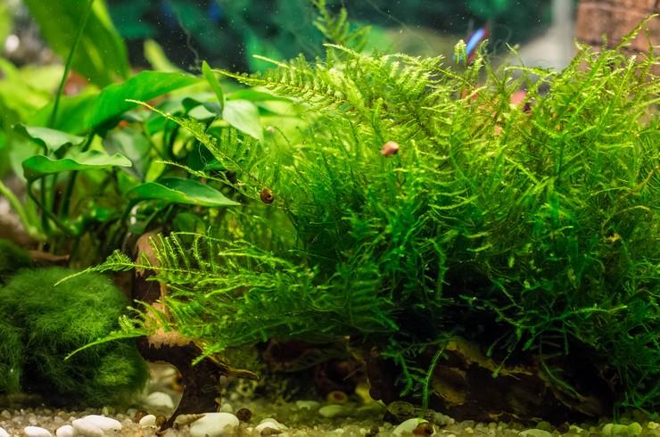 Рождественский мох смотрится в аквариуме необыкновенно привлекательно