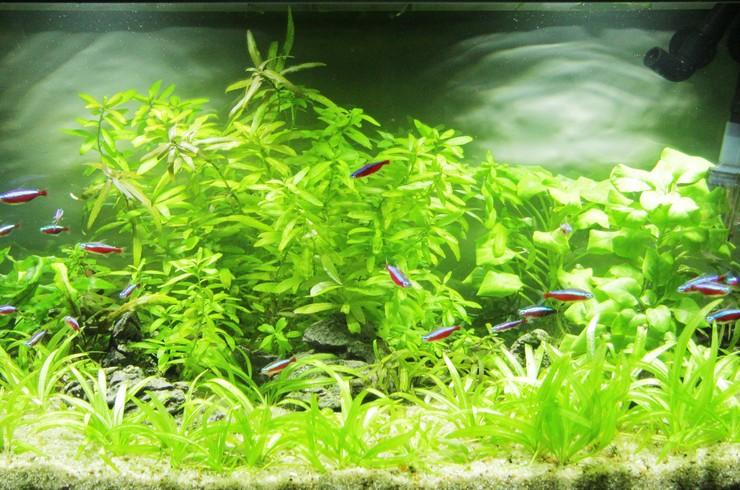 Сагиттария шиловидная образует красивые «газоны» на переднем плане аквариума