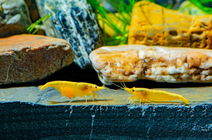 Самка желтой креветки (слева) с яйцами