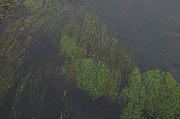 Спиральная валлиснерия в реке