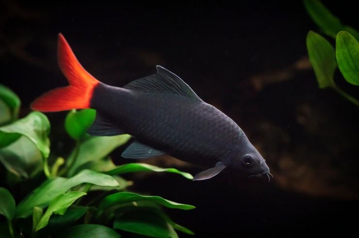 В окраске лабео идеально сочетаются два цвета – черный и красный