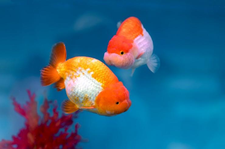 Видовой аквариум – лучший выбор для львиноголовок