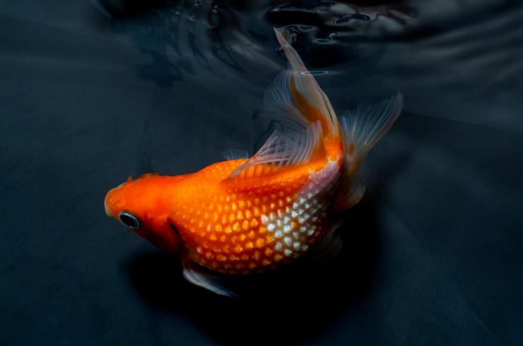 Второе распространённое название рыбки – шарик для гольфа