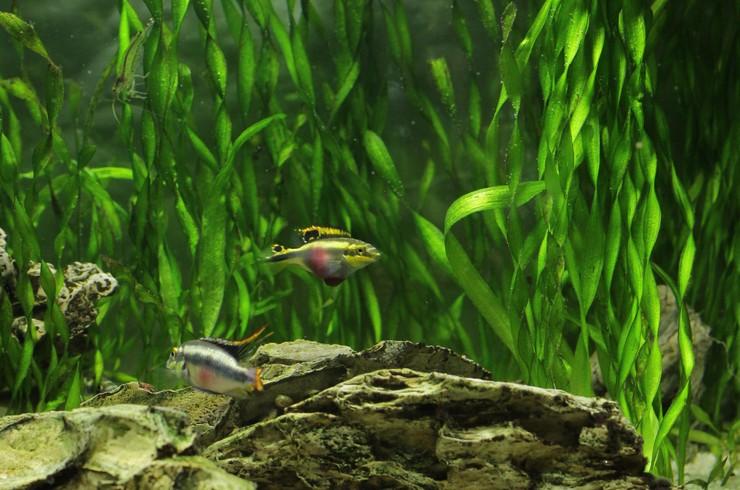 Высаживают спиральную валлиснерию обычно вдоль стенок аквариума