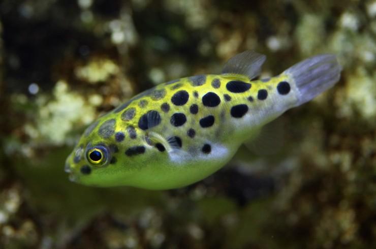 Зеленые тетраодоны – рыбы-одиночки