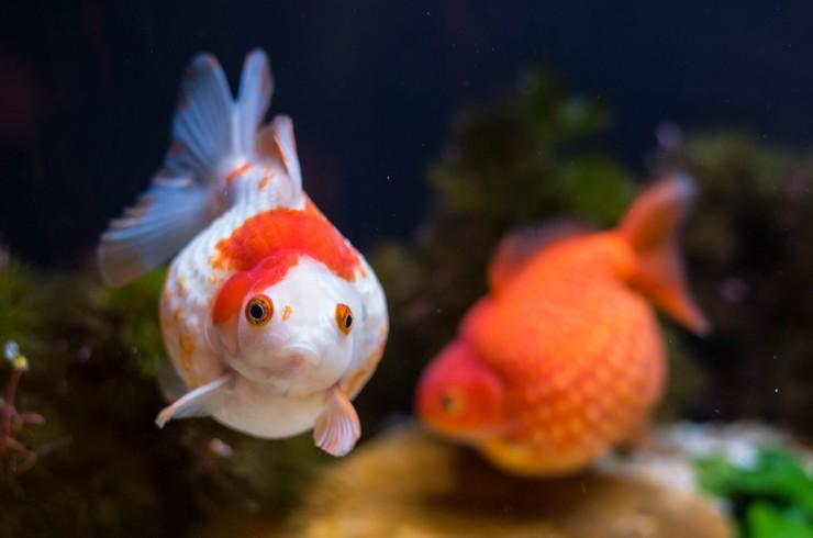 Жемчужин лучше всего содержать в видовом аквариуме