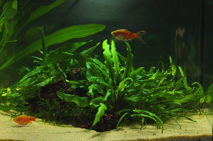 Живые растения создают неповторимую атмосферу в аквариуме