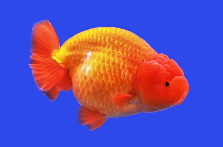 Золотая рыбка львиноголовка. Внешний вид.