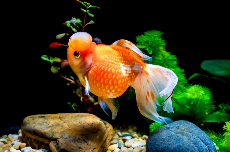 Золотая рыбка жемчужина в аквариуме