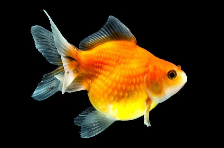 Золотая рыбка жемчужина. Внешний вид