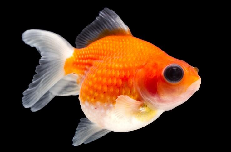 Золотая рыбка жемчужина