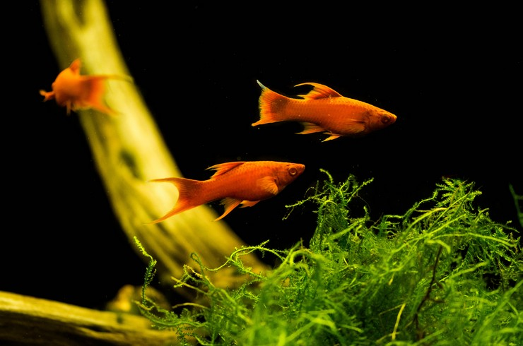 Аквариум с меченосцами рубин нуждается в живых растениях