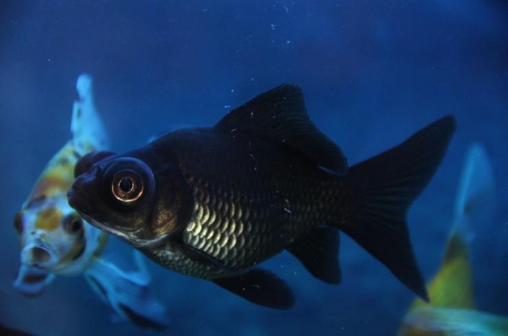 Черных телескопов можно содержать с другими короткотелыми золотыми рыбками