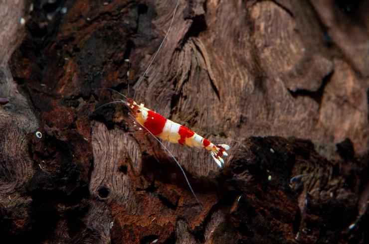 Для красных кристаллов характерна полосатая красно-белая окраска