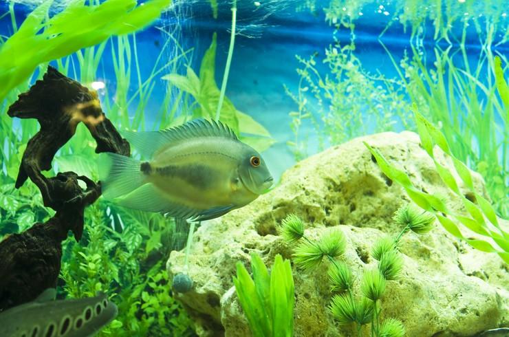 Для содержания уару понадобится аквариум большого объема