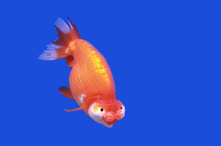 Для содержания звездочета понадобится просторный аквариум