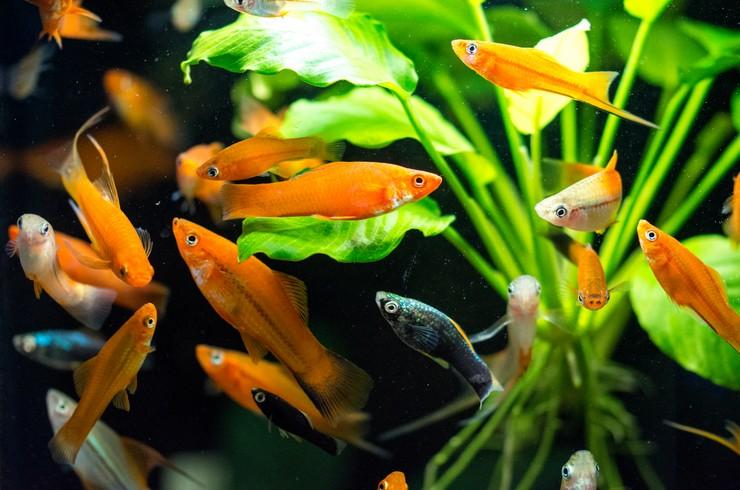 Группа красных меченосцев в аквариуме