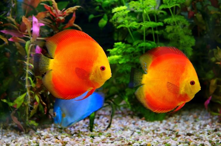Красные дискусы любят большие аквариумы и теплую воду