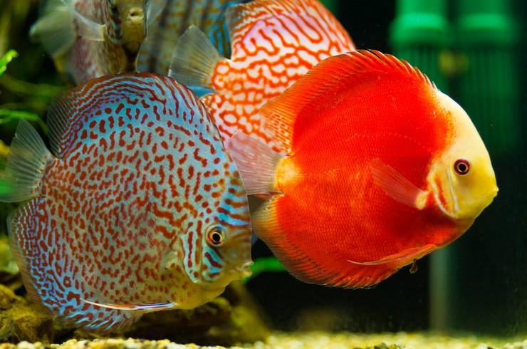 Красный дискус в окружении своих многоцветных сородичей
