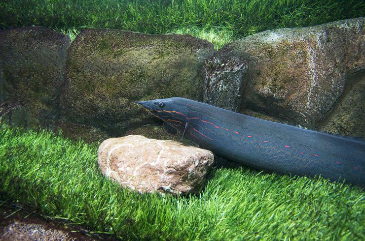 Мастацембелусы способны вырастать до метра в длину