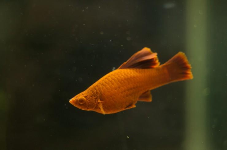 Меченосец рубин – живородящая рыбка