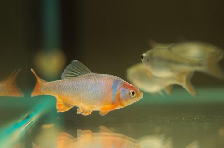 Нотропис красный бриллиант – холодноводная рыбка из Северной Америки
