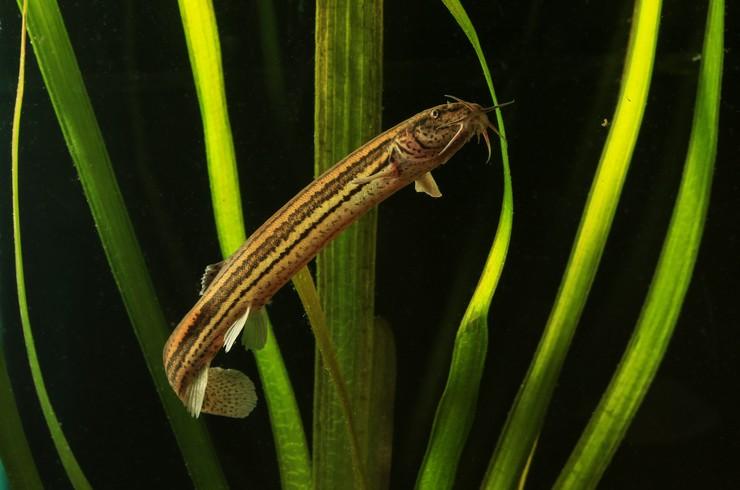 Обыкновенный вьюн, или рыбка-синоптик