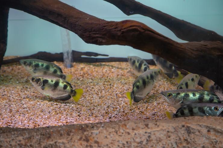 Полосатые брызгуны в аквариуме