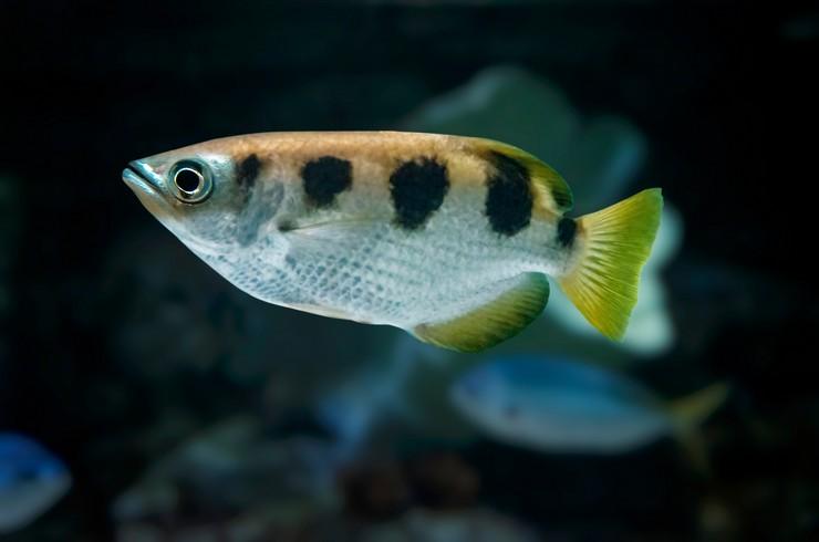 Полосатый брызгун – рыбка с удивительной способностью