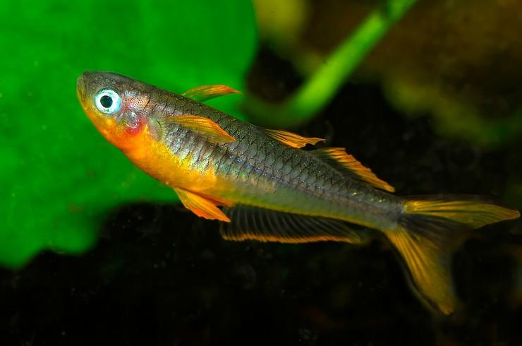 Псевдомугилы – рыбки с голубыми глазами